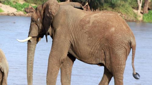 Elephant at  Samburu