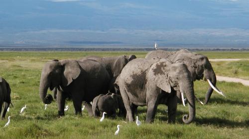 Elephants feeding at Amboseli National Park.