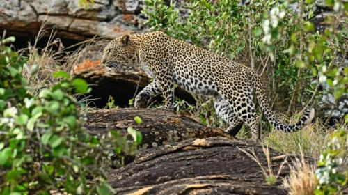 Leopard at Tsavo