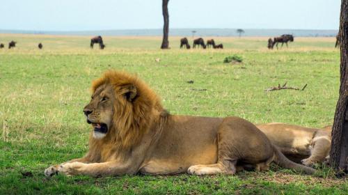Lion at Serengeti National Pak