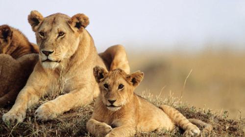 Lions at Tsavo