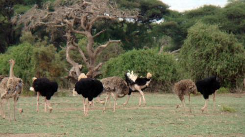 Ostrich in Amboseli National Park