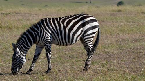 zebra at Mara